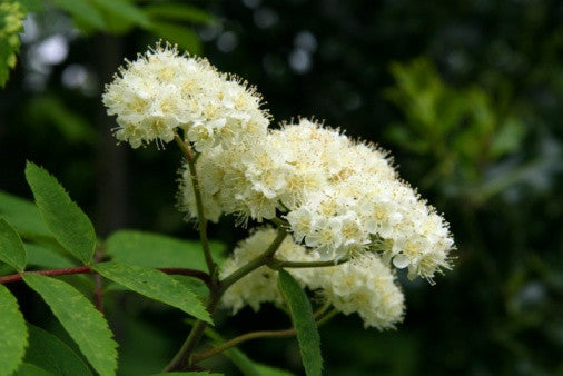 Sorbus aucuparia (Mountain Ash/Rowan) seeds - RP Seeds