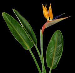 Strelitzia reginae (Orange Bird of Paradise) seeds - RP Seeds