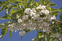 Styrax japonica (Japanese Snowbell) seeds - RP Seeds