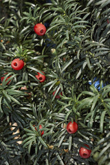 Taxus baccata (English/Common Yew) seeds - RP Seeds