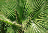 Washingtonia filifera (Desert Fan Palm) seeds - RP Seeds