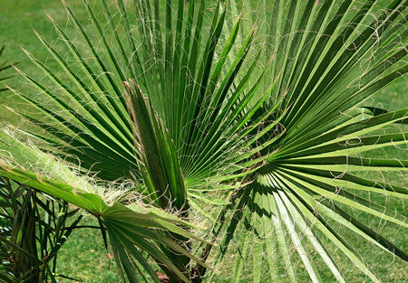 Washingtonia filifera (Desert Fan Palm) seeds