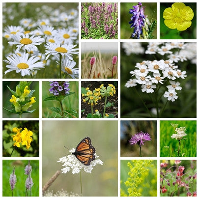 British Native Wildflower seeds - Boggy Meadow Mix - 2g - RP Seeds