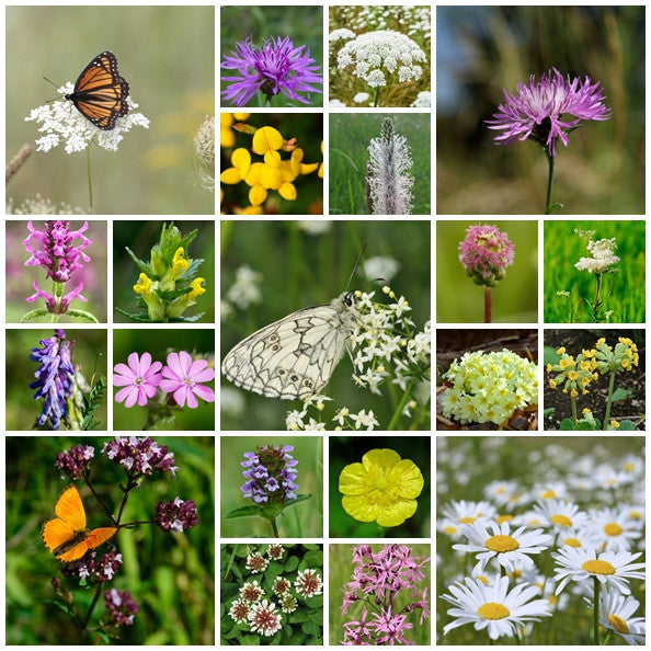 British Native Wildflower seeds - Special Meadow Mix - 2g - RP Seeds
