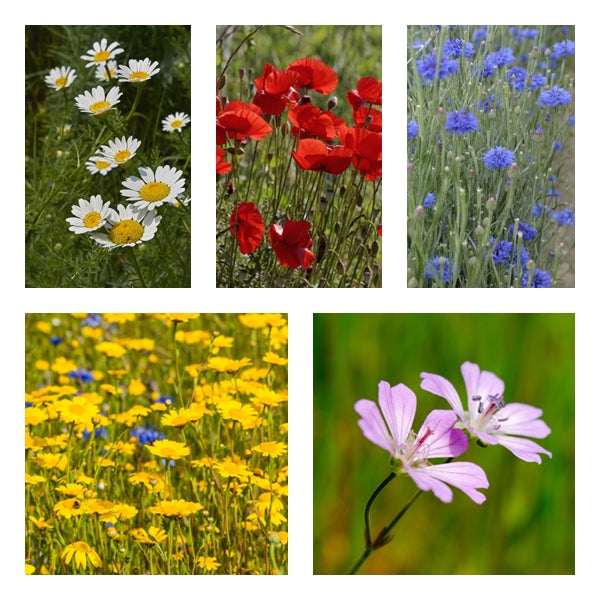 British Native Wildflower seeds - Traditional Cornfield Mix - 2g or 10g - RP Seeds