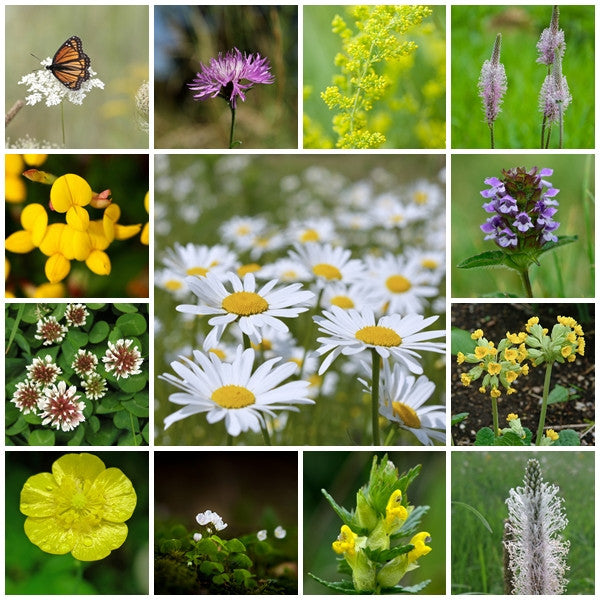 British Native Wildflower Seeds  - Traditional Meadow Mix - 2g - RP Seeds