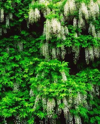 Wisteria sinensis alba (Chinese Wisteria) seeds - RP Seeds