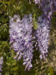 Wisteria sinensis Blue - Chinese Wisteria