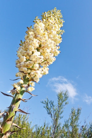 Yucca whipplei (Our Lord's Candle) seeds - RP Seeds