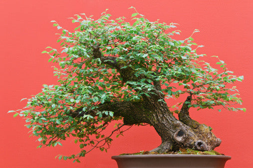 Zelkova serrata - Japanese Grey Bark Elm