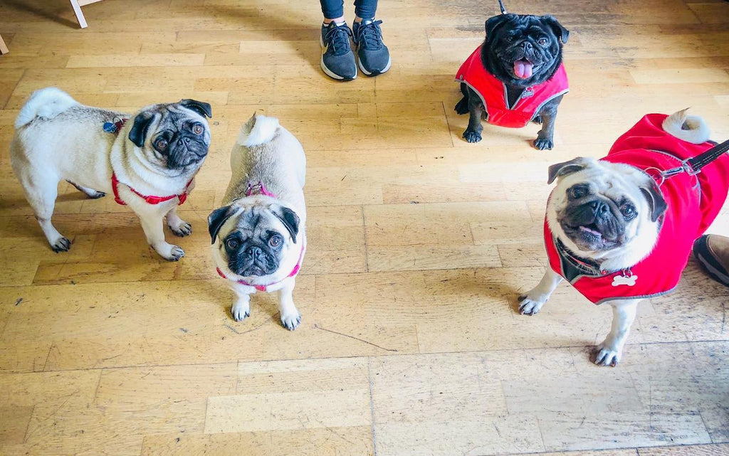 Now Pugs Galore!