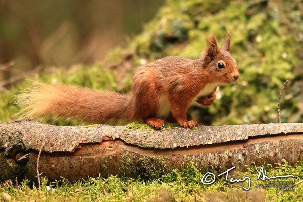 The Red Squirrel Collection by Terry Abraham
