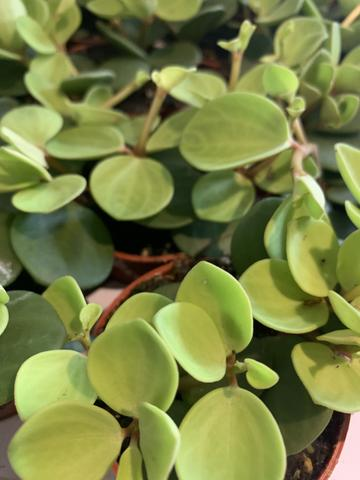 Potted Plant - Peperomia Hope 2.5""