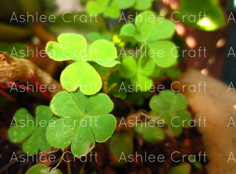 Clovers Magical Nature Green Plants - Royalty-Free Stock Photo Download