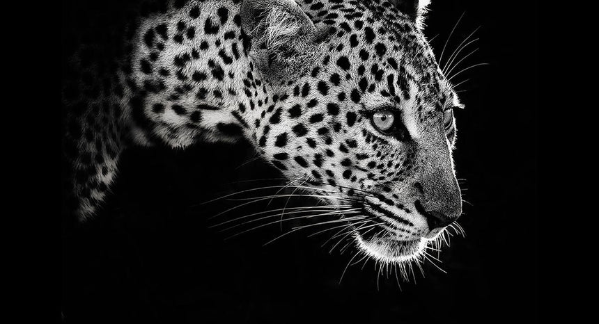Limited edition photographic print by Jonathan and Angela Scott, depicting a stunning profile of a leopard in black & white.