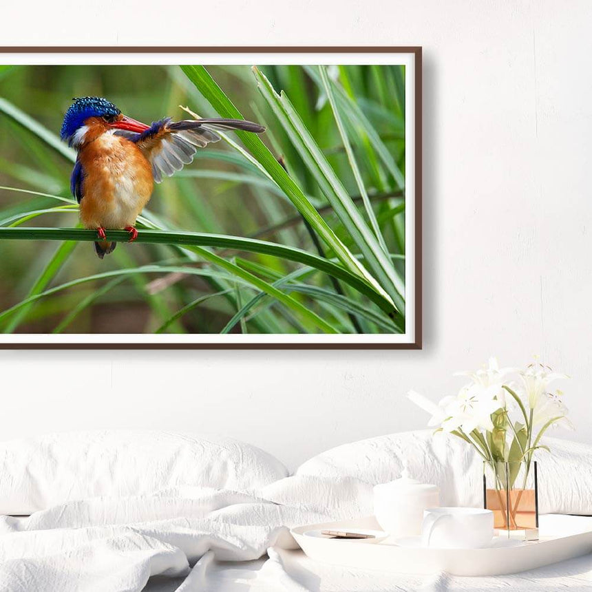 Fine art photographic print by Jonathan and Angela Scott, depicting a Malachite Kingfisher among the reeds in the Maasai Mara, Kenya.