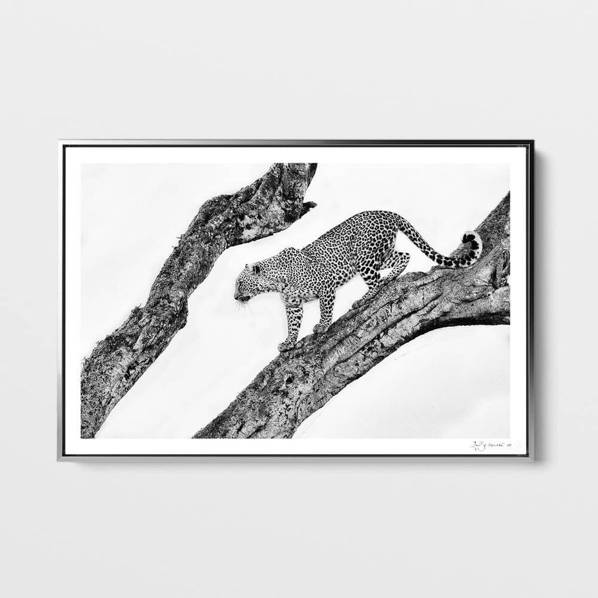 Limited edition photographic print by Jonathan and Angela Scott, depicting Bahati the leopard descending a tree in Maasai Mara, Kenya.