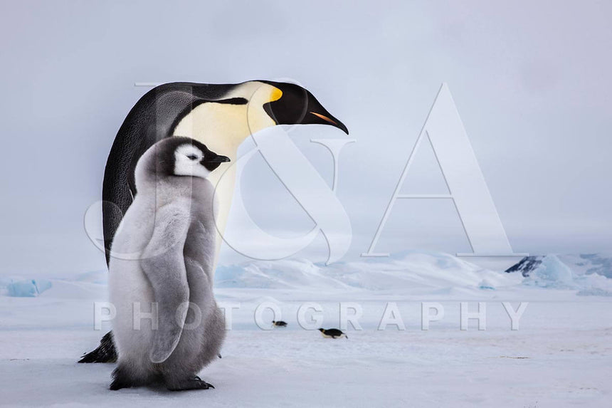 Limited edition photographic print by Jonathan and Angela Scott, depicting an emperor penguin and her chick in Antarctica.