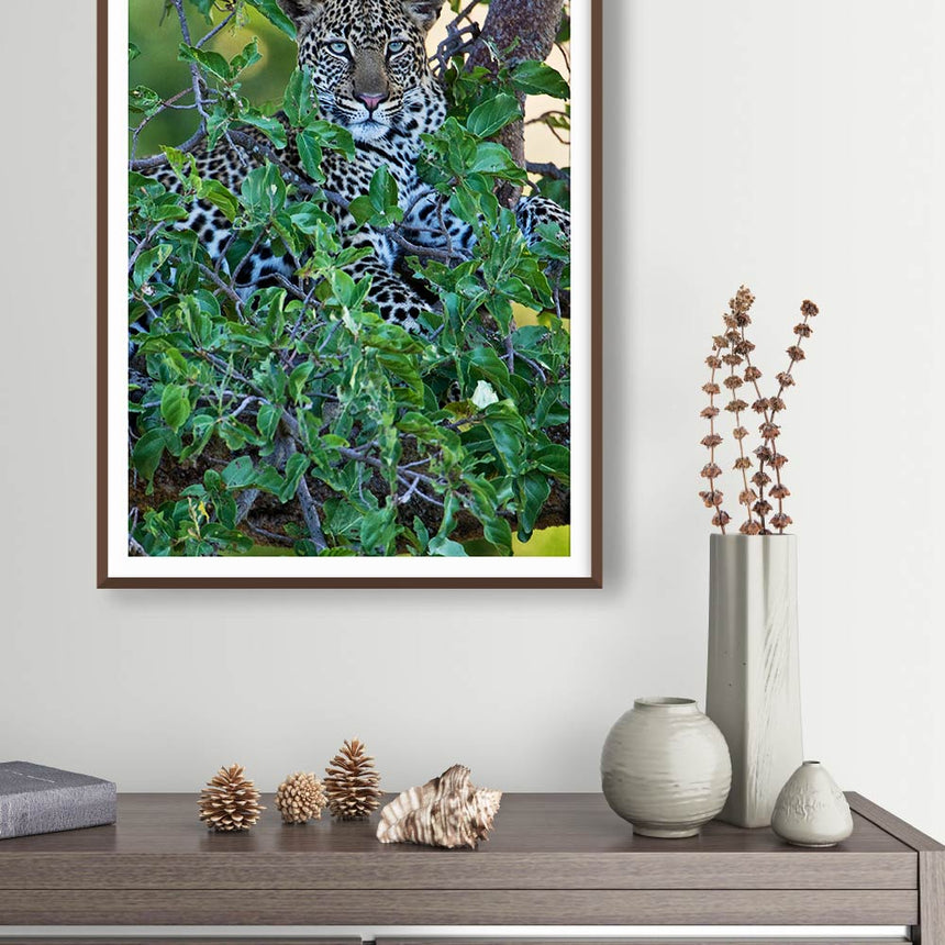 Fine art photographic print by Jonathan and Angela Scott, depicting Chui the leopard in a tree in Maasai Mara, Kenya.