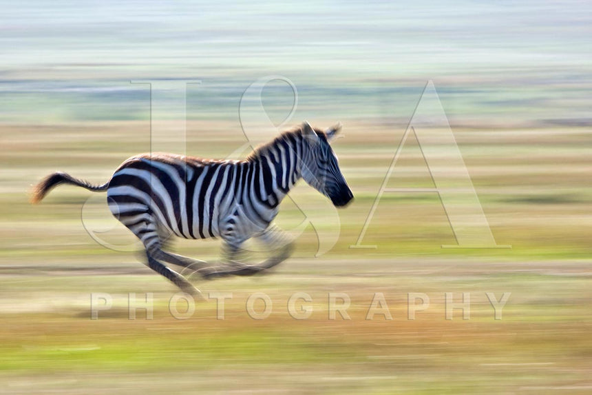 Fine art photographic print by Jonathan and Angela Scott, depicting a beautiful zebra running in Maasai Mara, Kenya.