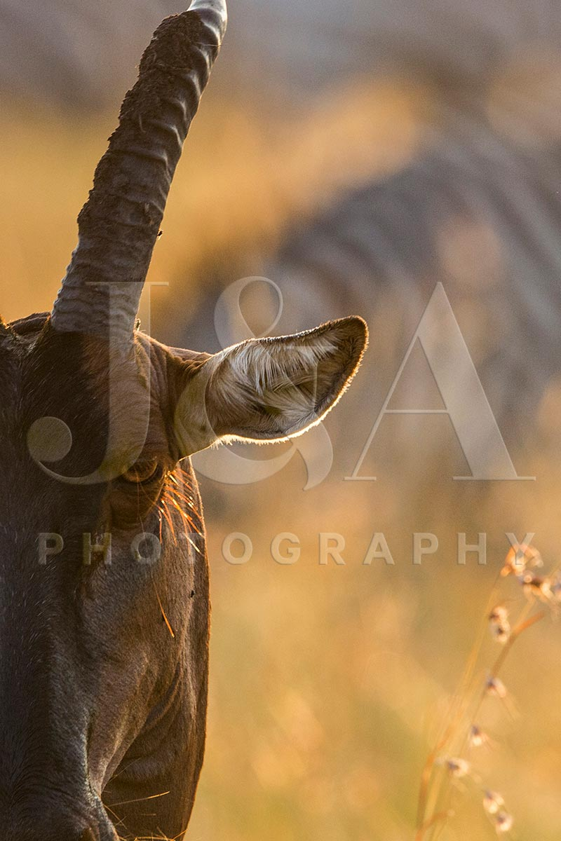 Fine art photographic print by Jonathan and Angela Scott, depicting an intimate portrait of a topi in Maasai Mara, Kenya.
