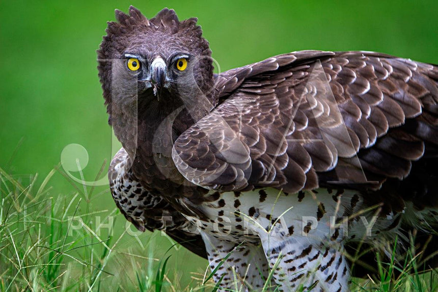 Fine art photographic print by Jonathan and Angela Scott, depicting a stunning martial eagle in Maasai Mara, Kenya.