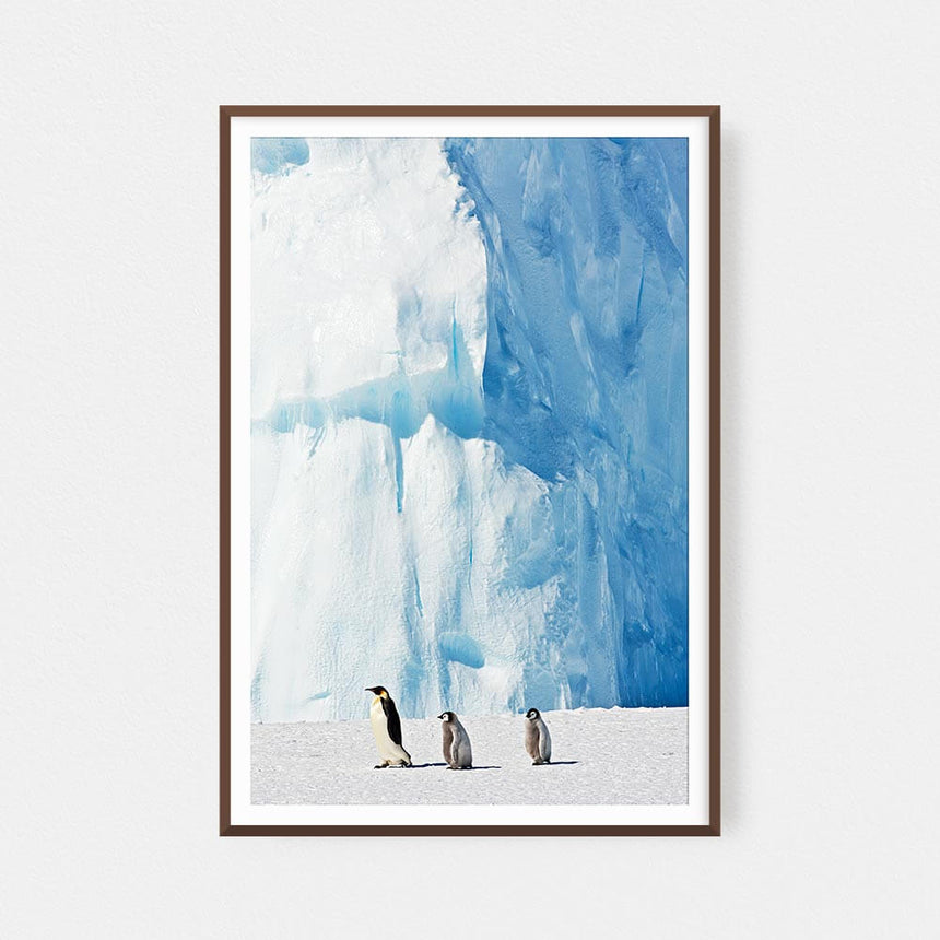 Fine art photographic print by Jonathan and Angela Scott, depicting emperor penguin chicks following the leader in Antarctica.