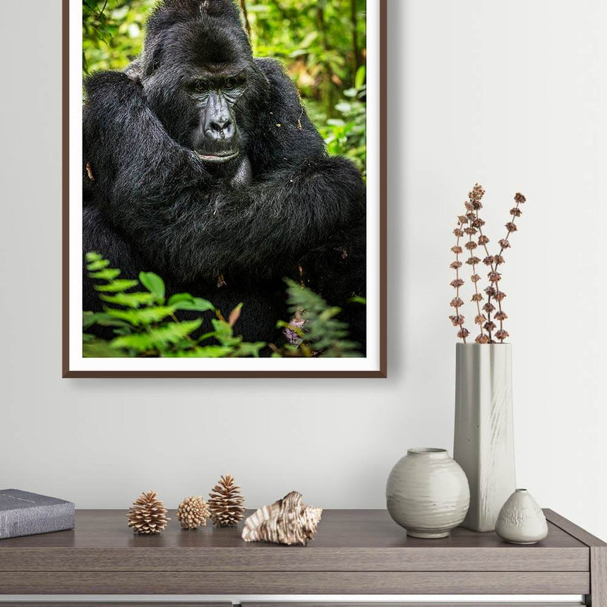 Fine art photographic print by Jonathan and Angela Scott, depicting a silverback male gorilla in the foliage in Uganda.