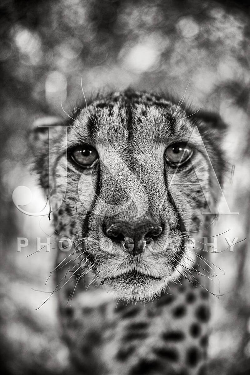Limited edition photographic print by Jonathan and Angela Scott, depicting a stunning cheetah portrait in Maasai Mara, Kenya.