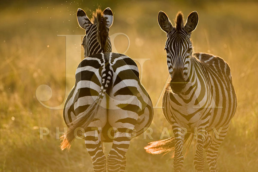 Fine art photographic print by Jonathan and Angela Scott, depicting 2 zebras amidst the savannah in Maasai Mara, Kenya.