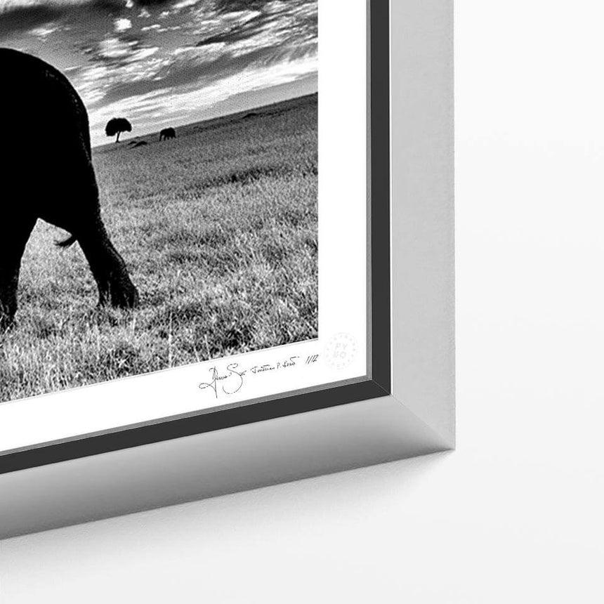 Limited edition photographic print by Jonathan and Angela Scott, depicting Blondie the male lion in Maasai Mara, Kenya.