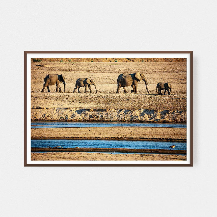 Fine art photographic print by Jonathan and Angela Scott, depicting elephants walking along the Luangwa River in Zambia.