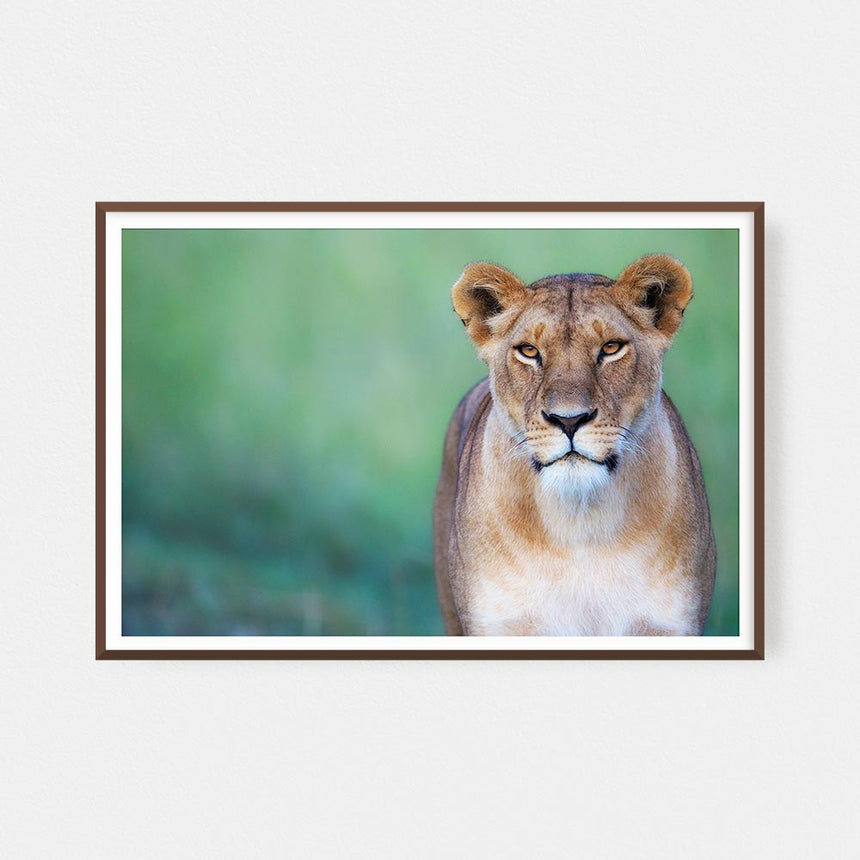Fine art photographic print by Jonathan and Angela Scott, depicting a stunning Marsh Pride lioness in Maasai Mara, Kenya.