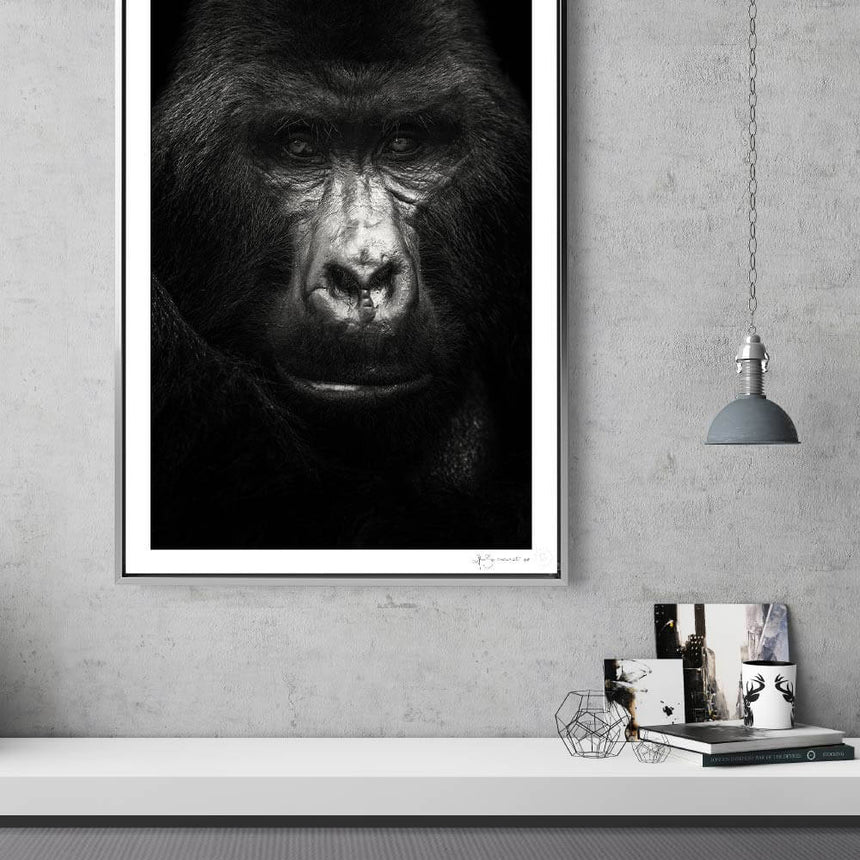 Limited edition photographic print by Jonathan and Angela Scott, depicting a male silverback mountain gorilla in Uganda.