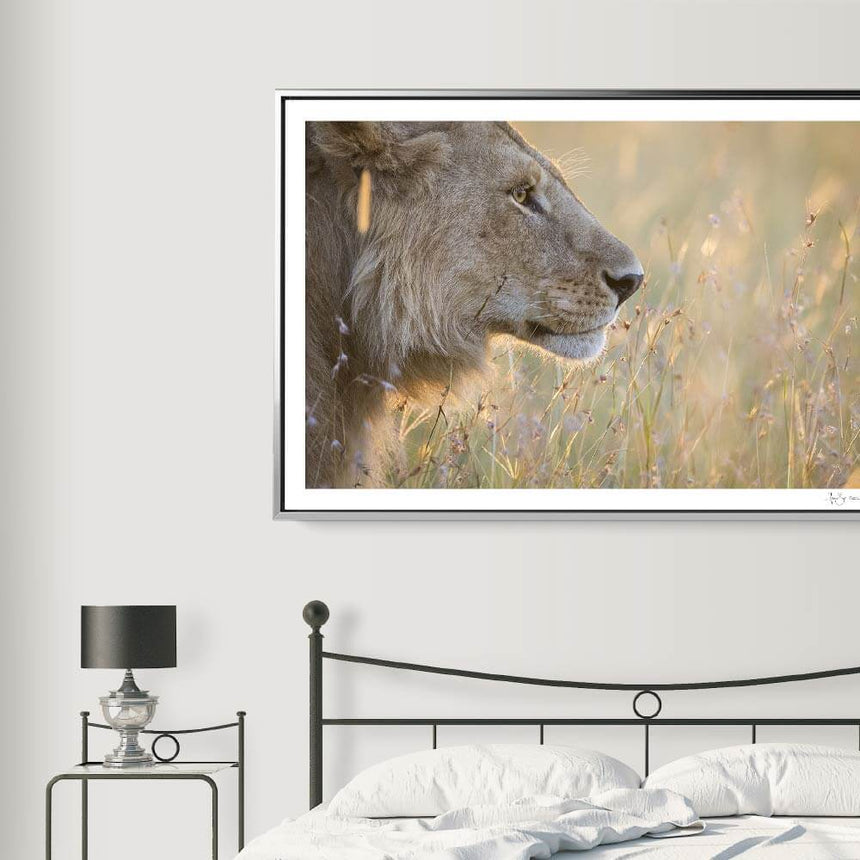 Limited edition photographic print by Jonathan and Angela Scott, depicting a male lion amidst the grass in Maasai Mara, Kenya.