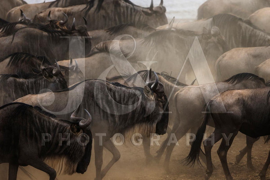 Fine art photographic print by Jonathan and Angela Scott, depicting a herd of wildebeest during migration in Maasai Mara, Kenya.