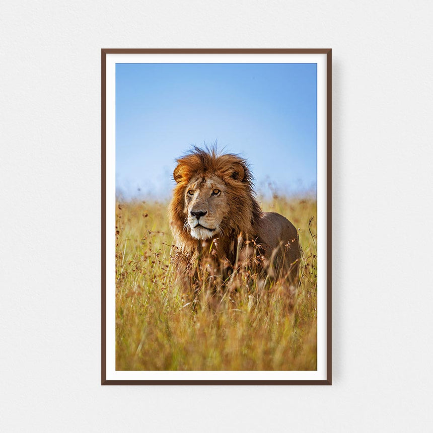 Fine art photographic print by Jonathan and Angela Scott, depicting a male lion amidst the grass in Maasai Mara, Kenya.