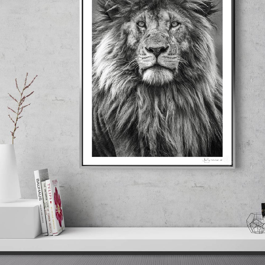 Limited edition photographic print by Jonathan and Angela Scott, depicting Scarface the male lion king in Maasai Mara, Kenya.