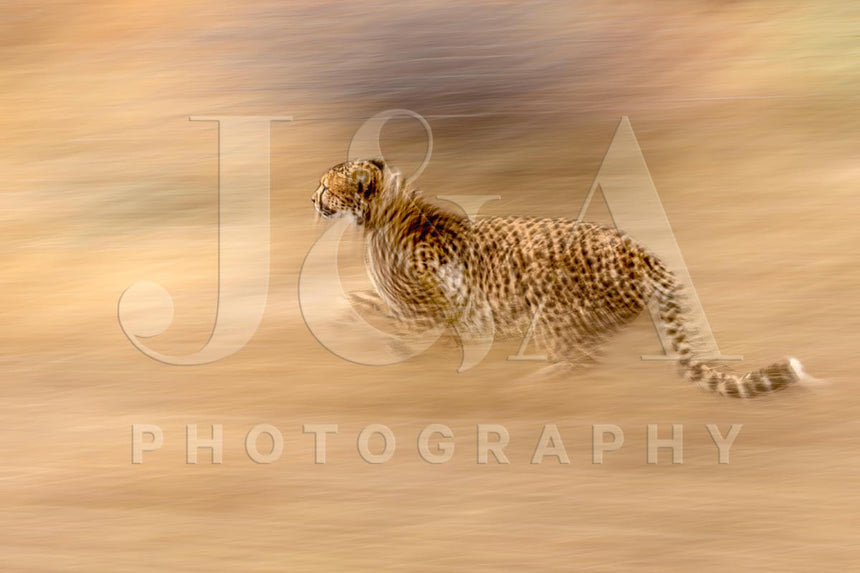 Fine art photographic print by Jonathan and Angela Scott, depicting a sprinting cheetah in Maasai Mara, Kenya.