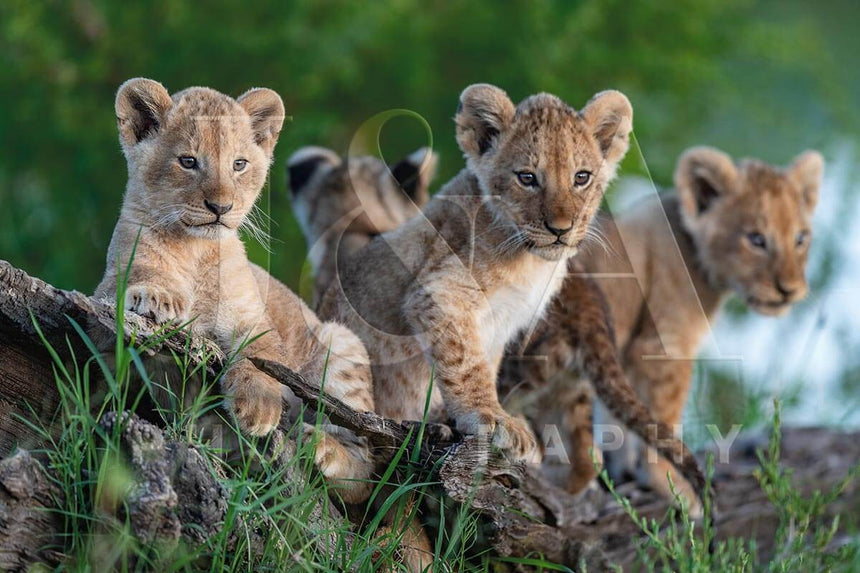 Fine art photographic print by Jonathan & Angela Scott, depicting 4 curious lion cubs on the lookout in Masai Mara, Kenya.