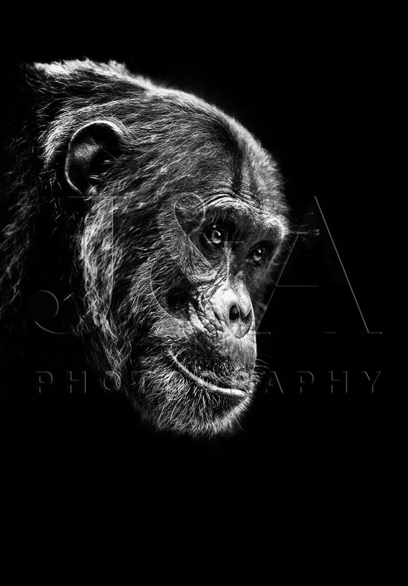 Limited edition photographic print by Jonathan and Angela Scott, depicting Frodo the chimpanzee in Gombe National Park.