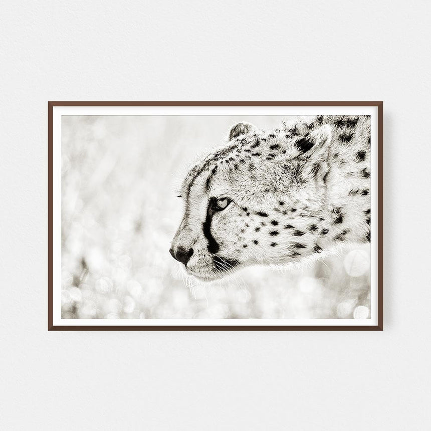 Fine art photographic print by Jonathan and Angela Scott, depicting a focused cheetah's portrait in Maasai Mara, Kenya.