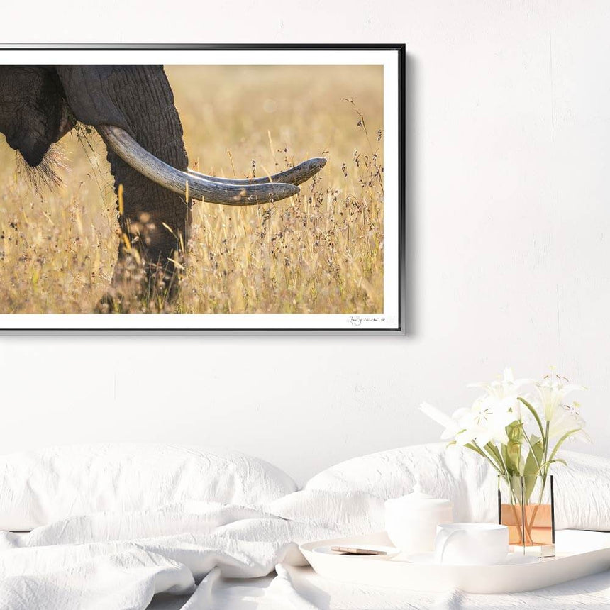 Limited edition photographic print by Jonathan and Angela Scott, depicting a bull elephant's tusks in Maasai Mara, Kenya.