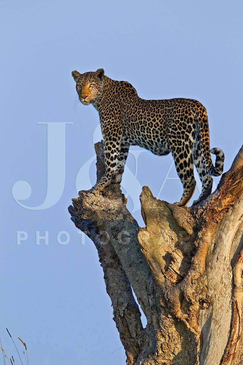 Fine art photographic print by Jonathan and Angela Scott, depicting leopard mother Zawadi perched on tree stump in Kenya.