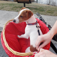 Training your dog to ride in a bicycle basket