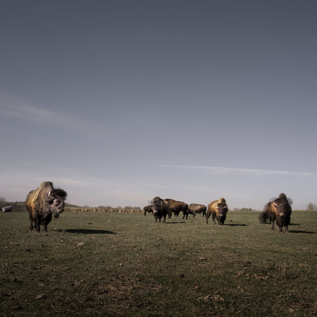Buffalo in Grasslands