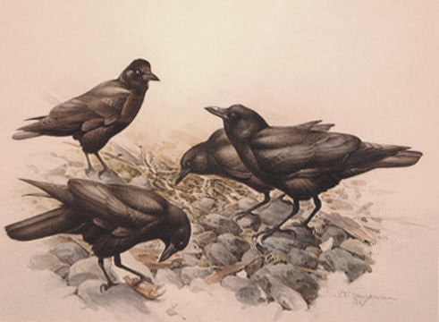 Northwest Crows