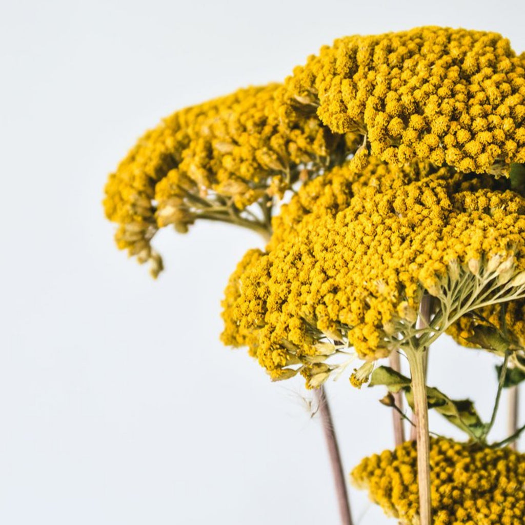 Dried Achillea - honeybee blooms