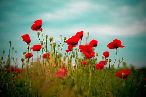 Symbolism in table linens couleurnature poppies are most commonly known as symbols of sleep and peace throughout history doctors have long been using the poppy flower and its extracts as mightylinksfo