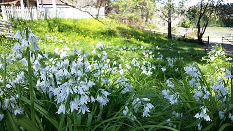 Snowdrops naturalised Power Planter Australia